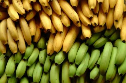 Fungo maldito, ameaça acabar com as bananas no mundo