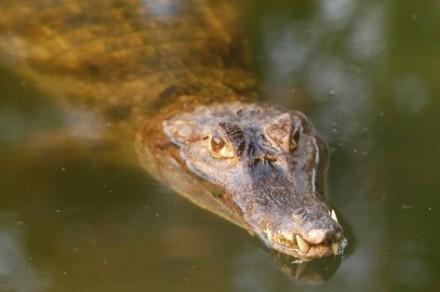 A populaçao de jacarés auenta nos rios do Amazonas e apavora ribeirinhso e pescadores no interior
